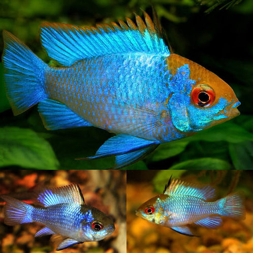 Buy Electric Blue Ram 4cm | Fishy Biz
