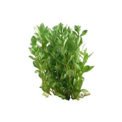 Hygrophila - Submersed (Hygrophila polysperma)