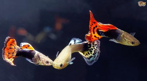 Male Assorted Guppy 3-5cm | Fishy Biz
