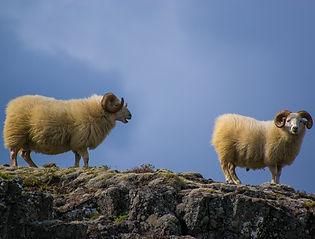 sheeps-919072_1920_edited.jpg