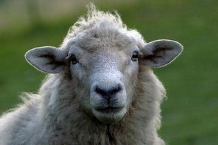 sheep-3731217_1920.jpg