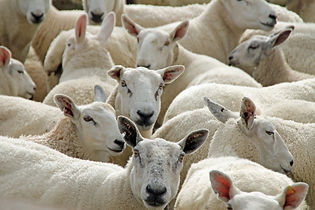 sheep-55450_1920.jpg