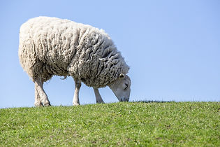 sheep-4797921_1920.jpg