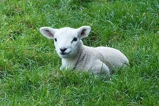 lamb-4280668_1920.jpg