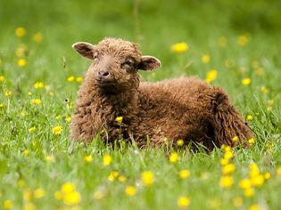 sheep-2401730_1920.jpg
