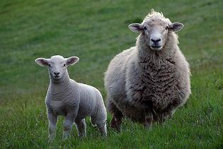 sheep-2625347_1920.jpg
