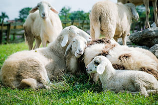 sheep-5352474_1920.jpg