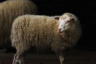 sheep-4236206_1920.jpg
