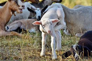 lamb-4454529_1920.jpg