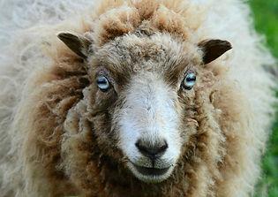 sheep-4143207_1920.jpg