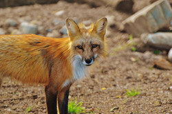 fuchs-wild-animal-predator-animal-world-158276