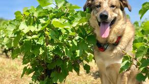 Illegal grape varietals in France