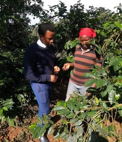 Kenyan Coffee farm