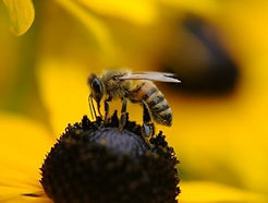 Bee on flower.