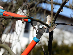 Trimmers cutting a branch.