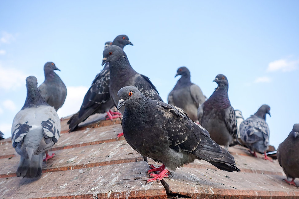 Group of birds on a roof.