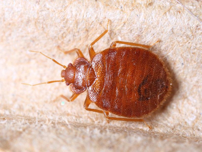 Bed bug.