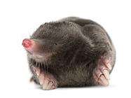 mole.