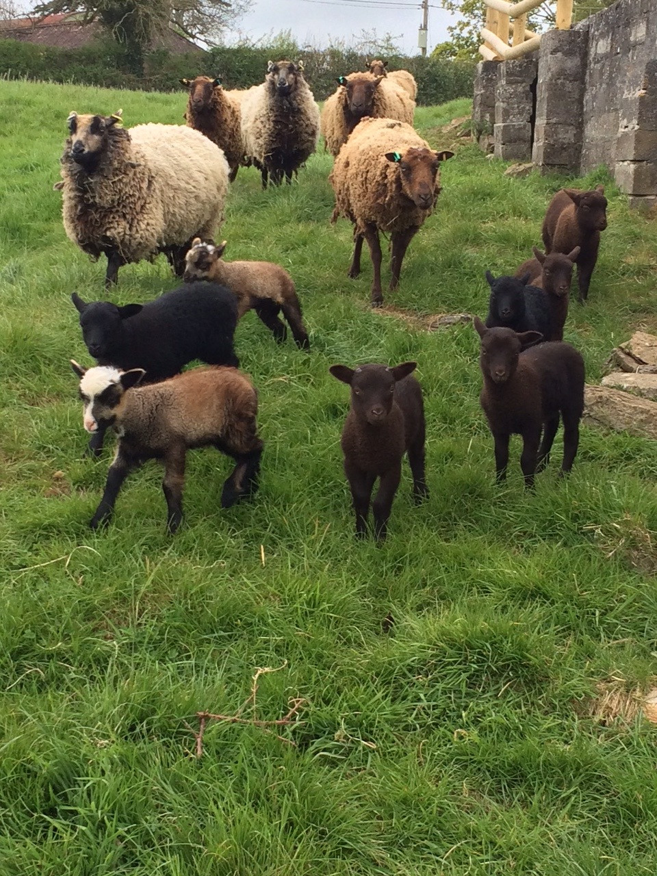 Stokehill ewes and lambs