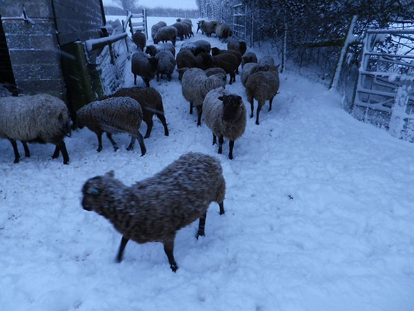 Shetland sheep for sale, Stokehill flock, ewes, lambs, wethers, rams