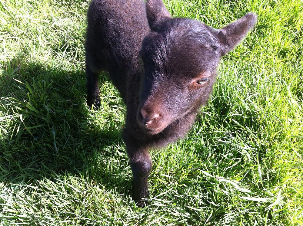 Stokehill lamb