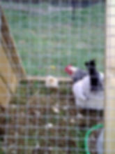 Stokehill Education and Training chickens