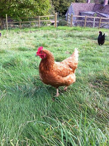 Stokehill Education and Training, Guinea fowl, Farm Education