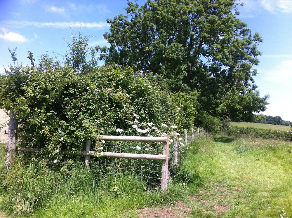 Summer hedgerows