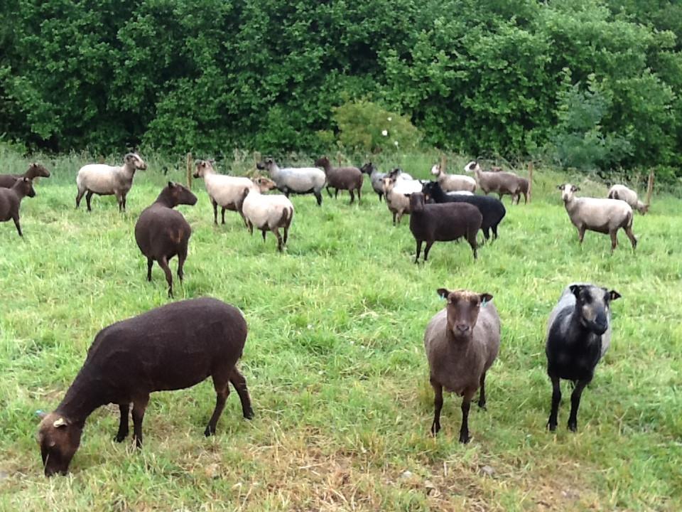 Stokehill sheep after shearing