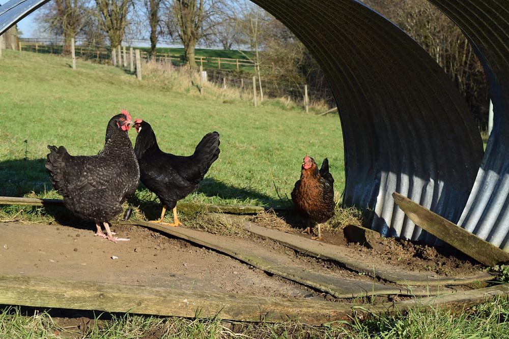 Stokehill chickens