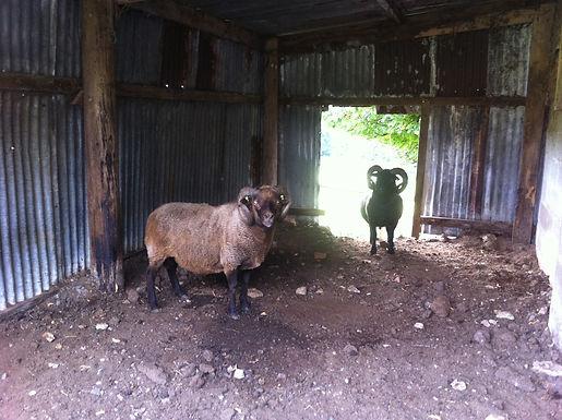 Stokehill flock rams