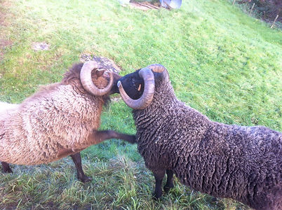 Rams from the Stokehill flock, shetland sheep for sale