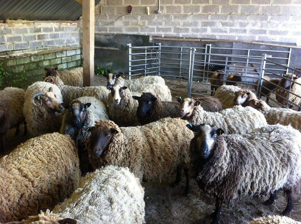 Stokehill sheep waiting for the shearer