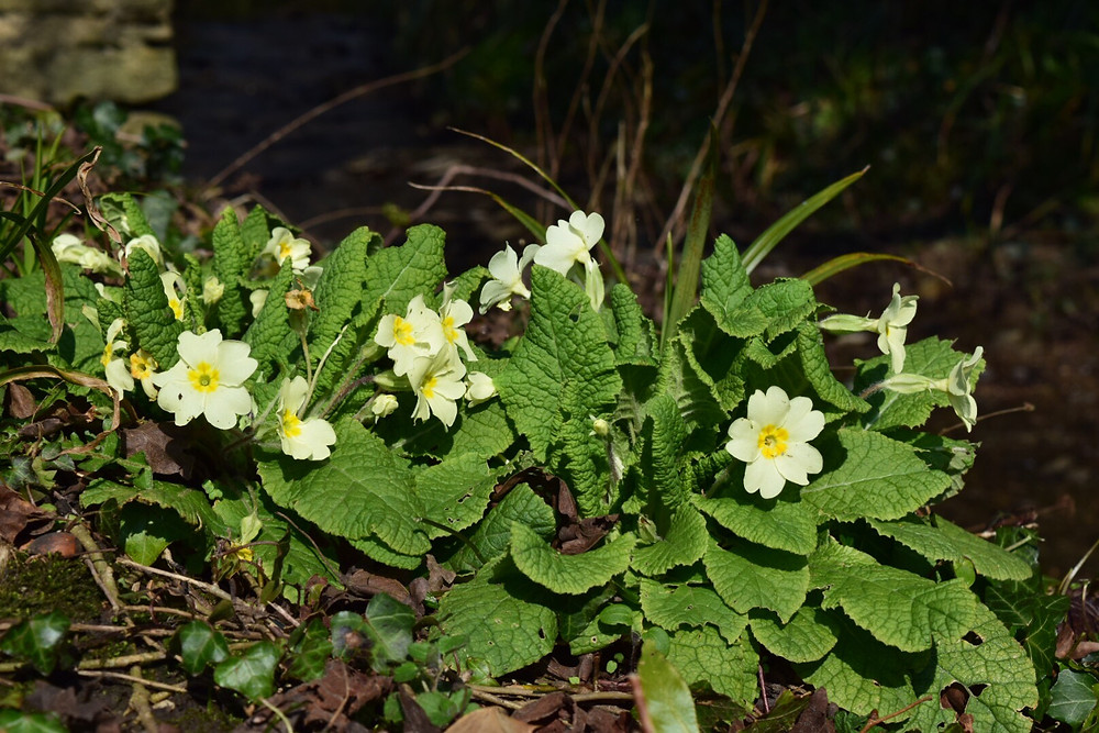 Primroses in the hedgerow
