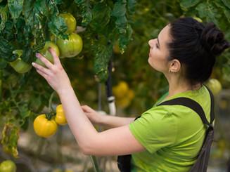 bigstock-Woman-working-in-a-tomato-gree-