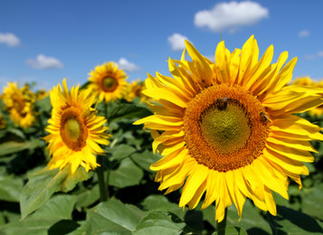 S is for Sunflowers