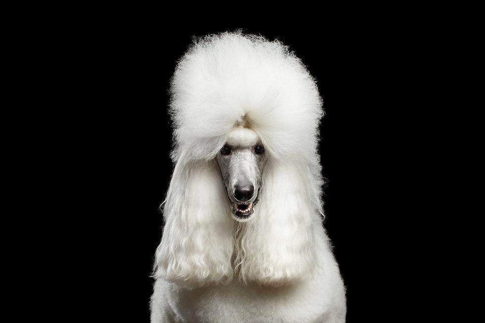 Portrait of White Royal Poodle Dog Looki