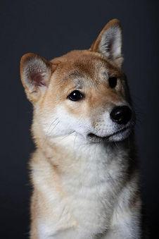 the shiba inu dog