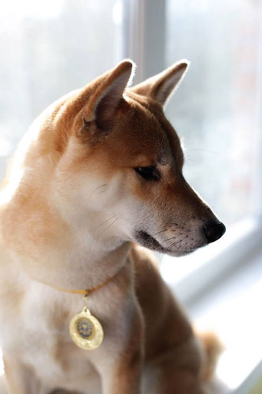 shiba inu red FUMIKO GO FROM HACHIMANTAY