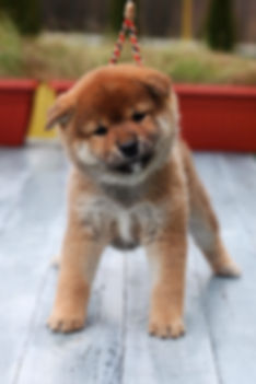 shiba inu red puppies for sale
