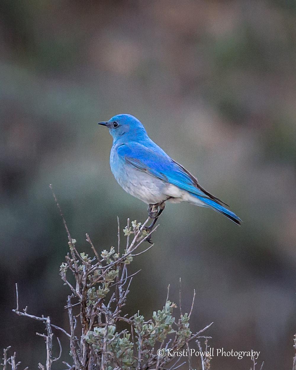 Adult Male Bluebird