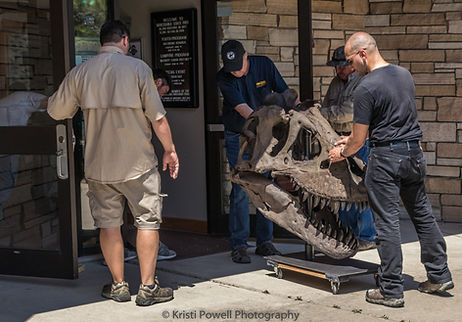 T-Rex Skull Arrives at Makoshika's Visitors Center