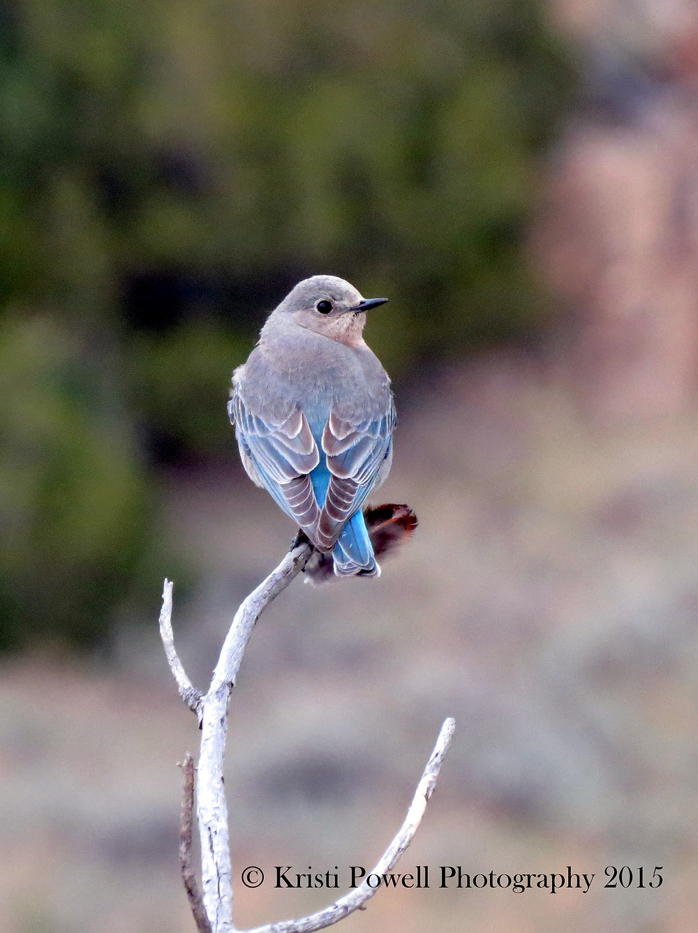 Young Male Bluebird