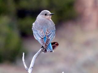 Mountain Bluebirds in Makoshika Park