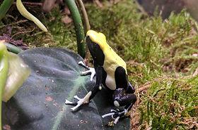 reptiles dart frog