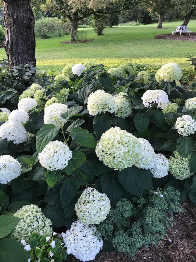 Why The Hydrangea Hype?