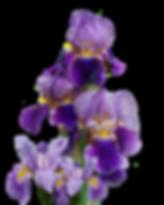 iris-2348484_960_720.png