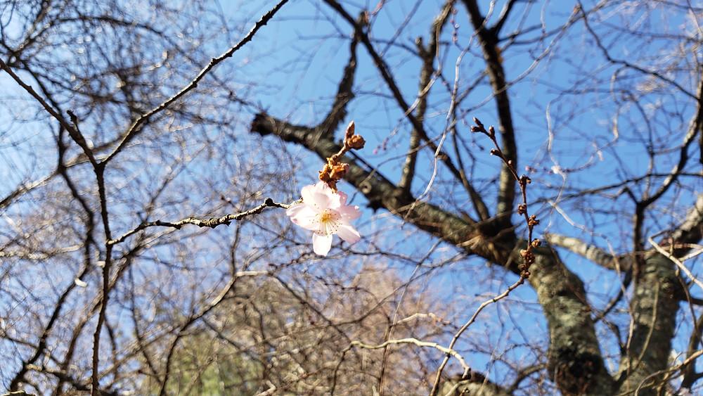 Holmdel Park Cherry Blossoms