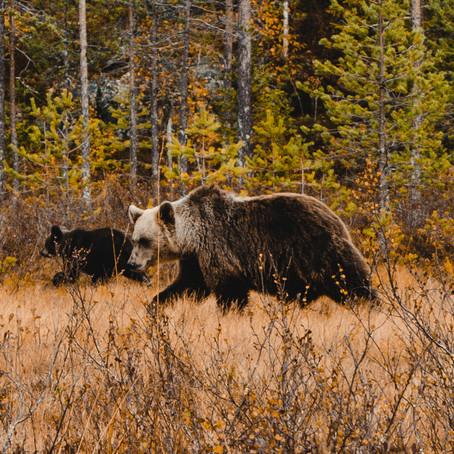 Bruine beren fotograferen in Finland