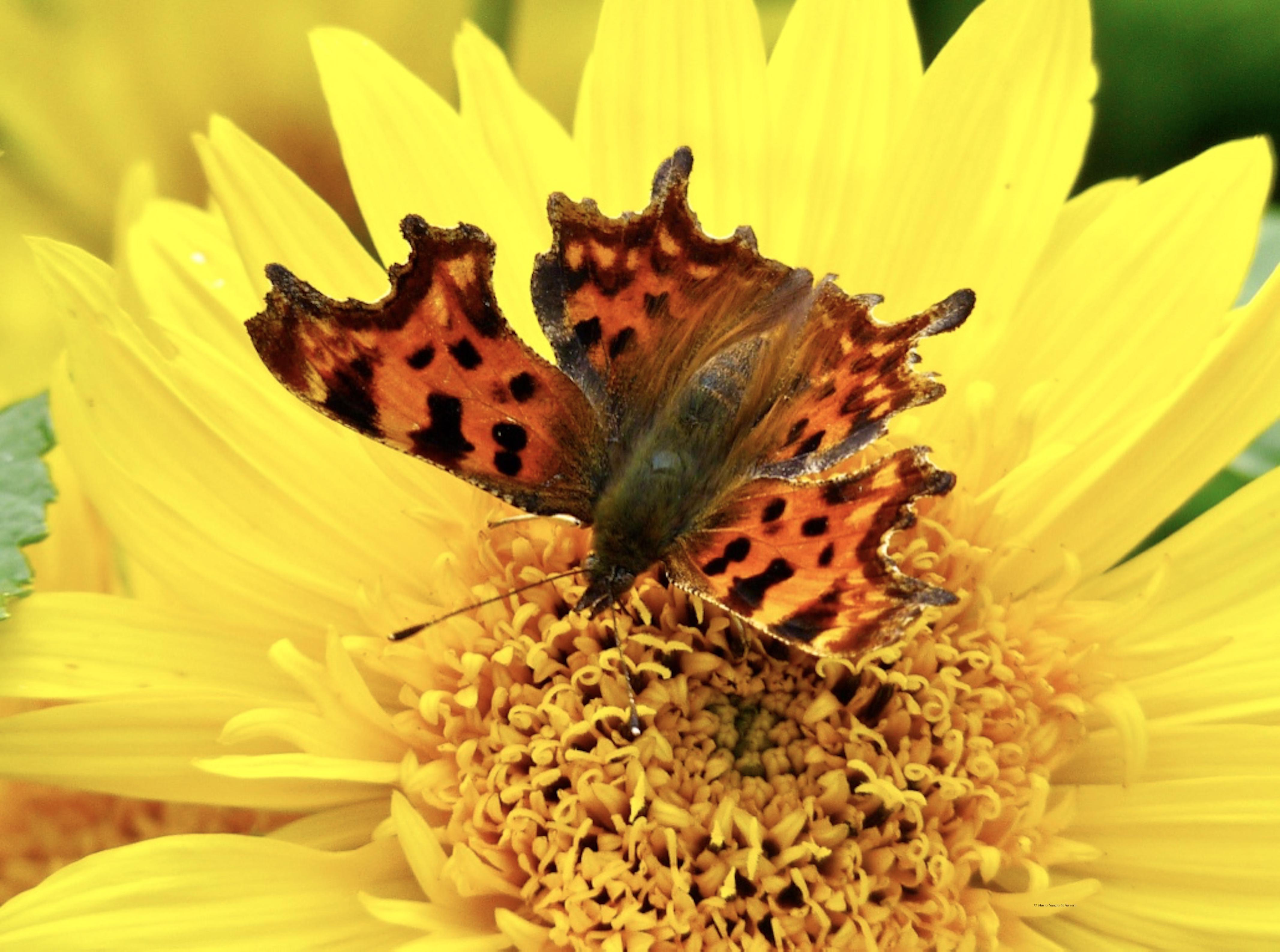 _Comma_butterfly_©_Maria_Nunzia__Varvera_P1250070_1024
